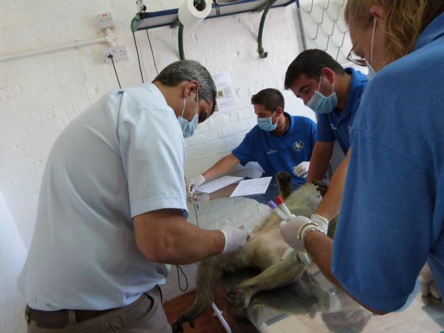 Macaque Team and Vet collecting data while doing a routine check-up so they can record physiological changes and dietary information as well.
